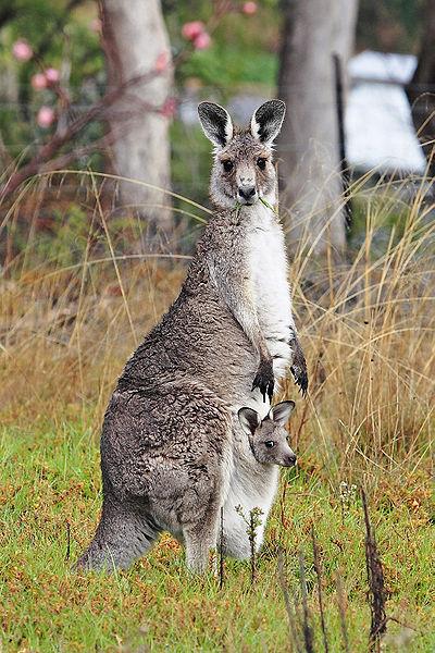 Kangaroo in Eastern Australia
