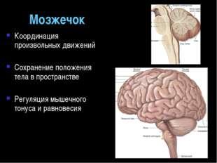 Мозжечок Координация произвольных движений Сохранение положения тела в простр