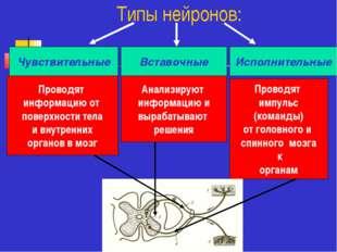 Типы нейронов: Чувствительные Вставочные Исполнительные Проводят информацию о