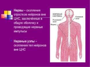 Нервы – скопления отростков нейронов вне ЦНС, заключённые в общую оболочку и
