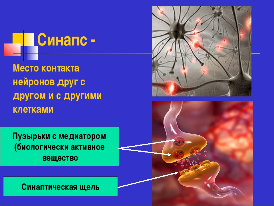 Синапс - Место контакта нейронов друг с другом и с другими клетками Пузырьки...