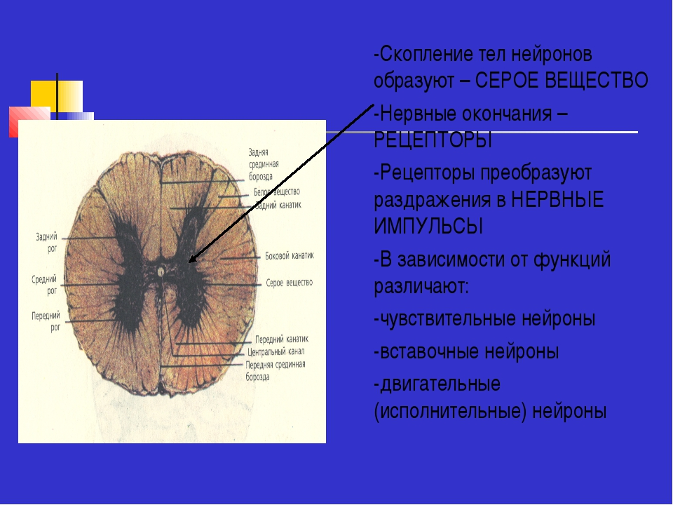 -Скопление тел нейронов образуют – СЕРОЕ ВЕЩЕСТВО -Нервные окончания – РЕЦЕПТ...
