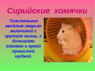Сирийские хомячки Толстенькие весёлые зверьки величиной с крупную мышь, с бол