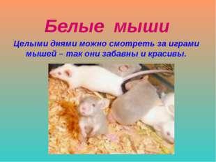 Белые мыши Целыми днями можно смотреть за играми мышей – так они забавны и кр