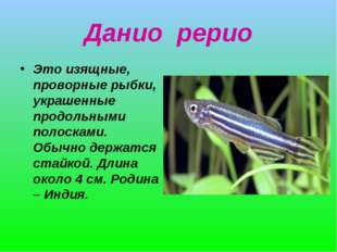 Данио рерио Это изящные, проворные рыбки, украшенные продольными полосками. О