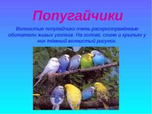 Попугайчики Волнистые попугайчики очень распространённые обитатели живых уго