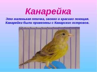 Канарейка Это маленькая птичка, звонко и красиво поющая. Канарейки были приве
