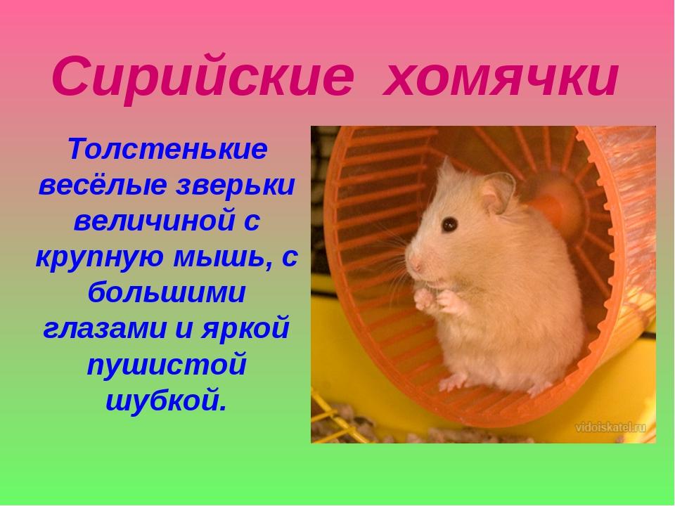 Сирийские хомячки Толстенькие весёлые зверьки величиной с крупную мышь, с бол...