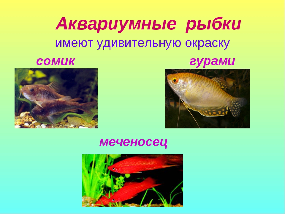 Аквариумные рыбки имеют удивительную окраску сомик гурами меченосец