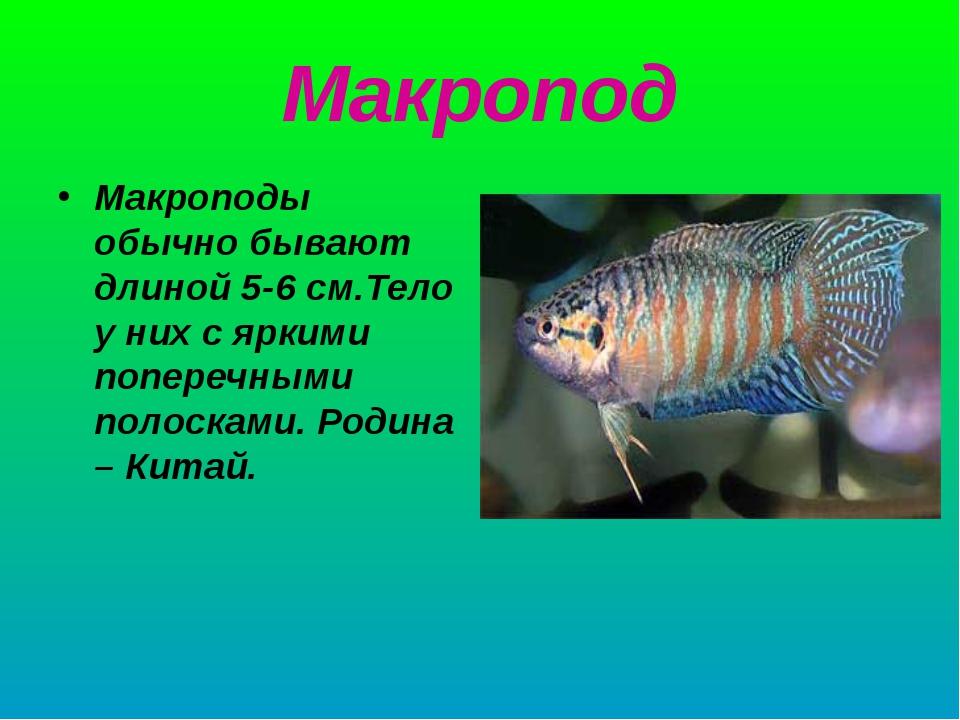 Макропод Макроподы обычно бывают длиной 5-6 см.Тело у них с яркими поперечным...