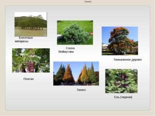 Болотные кипарисы Сосна Веймутова Тюльпанное дерево Платан Гинкго Гинкго Ель