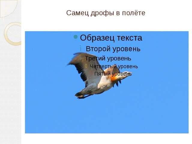 Самец дрофы в полёте