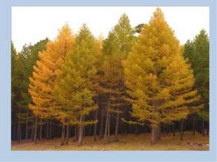 Как называют листья хвойных растений? кедр лиственница хвоинки