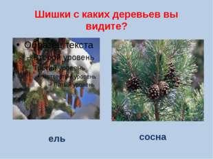 Шишки с каких деревьев вы видите? сосна ель
