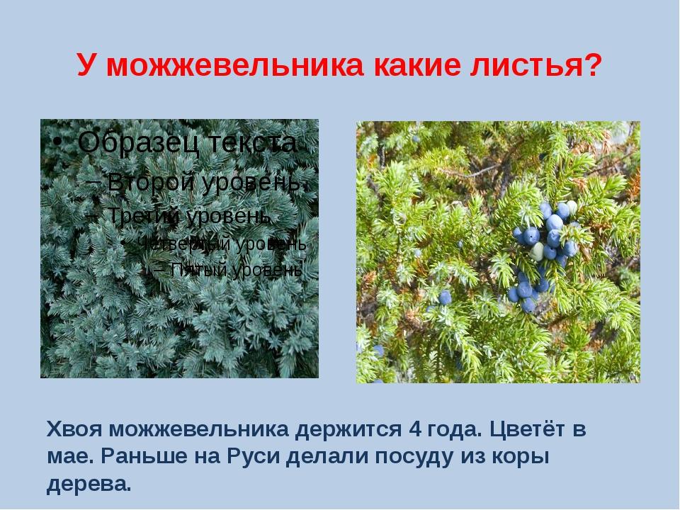 У можжевельника какие листья? Хвоя можжевельника держится 4 года. Цветёт в ма...