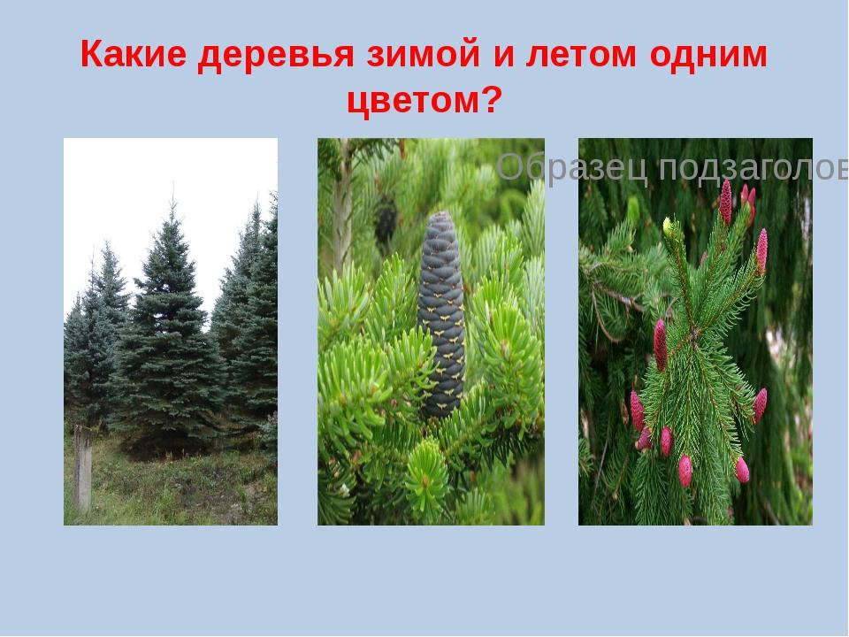 Какие деревья зимой и летом одним цветом?