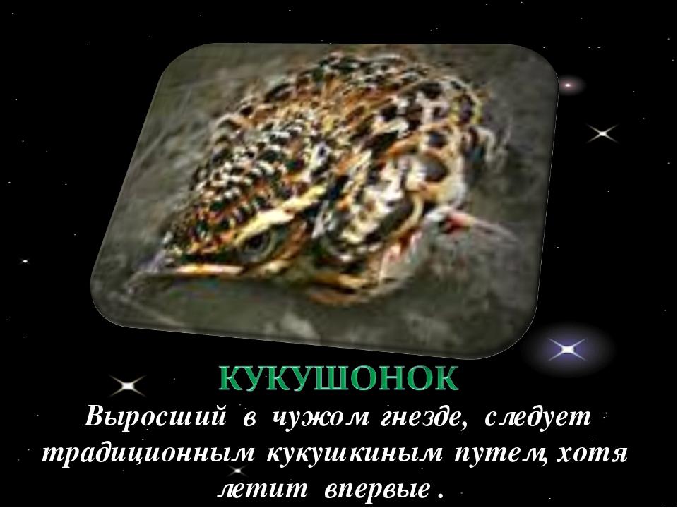 Выросший в чужом гнезде, следует традиционным кукушкиным путем, хотя летит вп...
