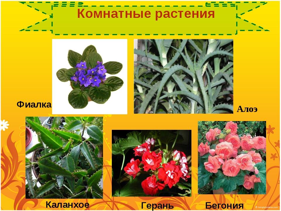 Герань Бегония Каланхое Алоэ Фиалка Комнатные растения