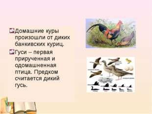 Домашние куры произошли от диких банкивских куриц. Гуси – первая прирученная