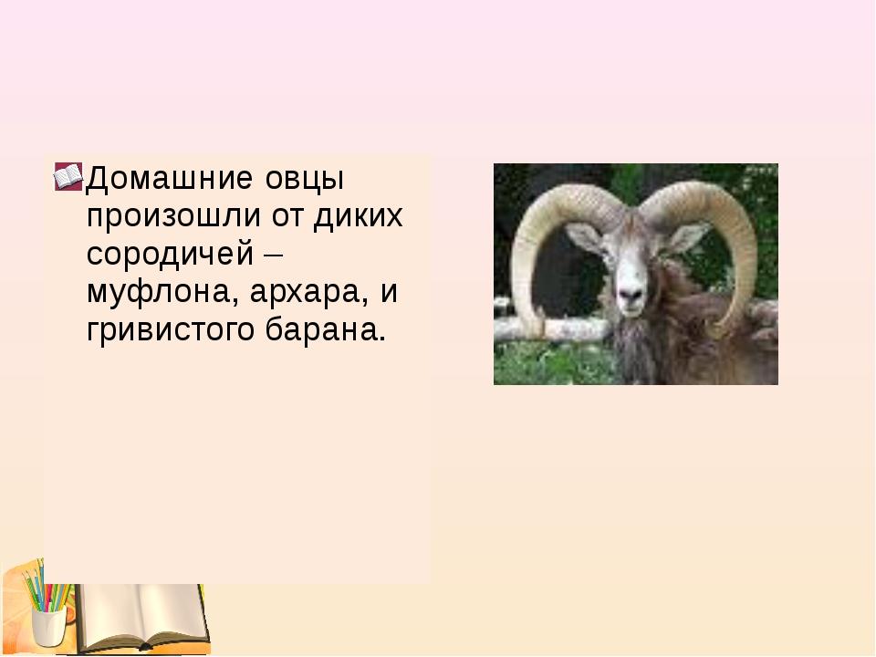 Домашние овцы произошли от диких сородичей – муфлона, архара, и гривистого ба...