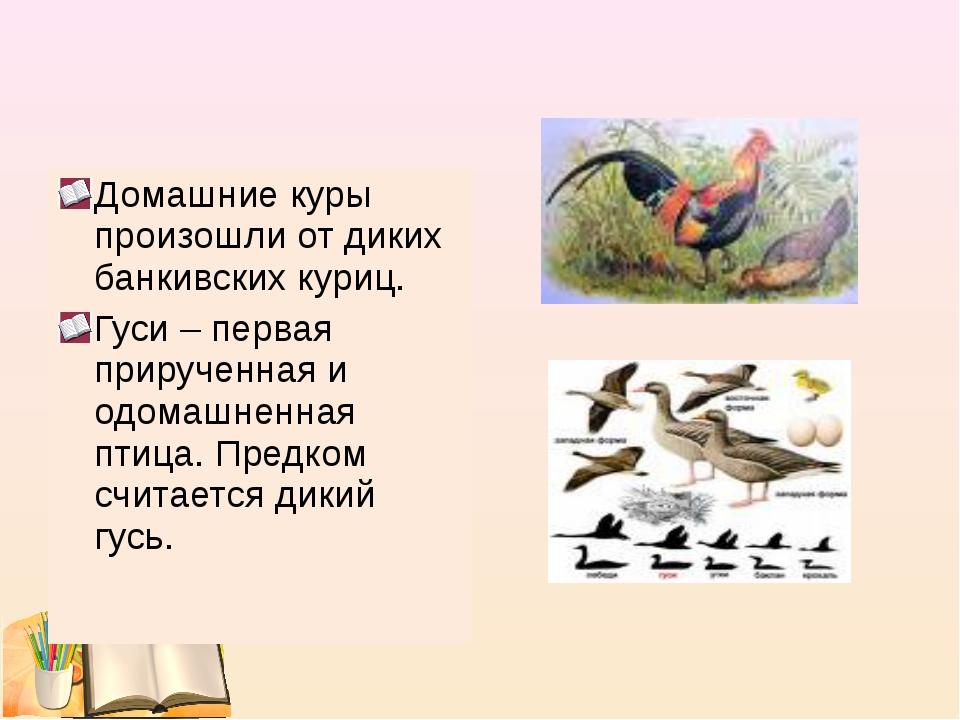 Домашние куры произошли от диких банкивских куриц. Гуси – первая прирученная...