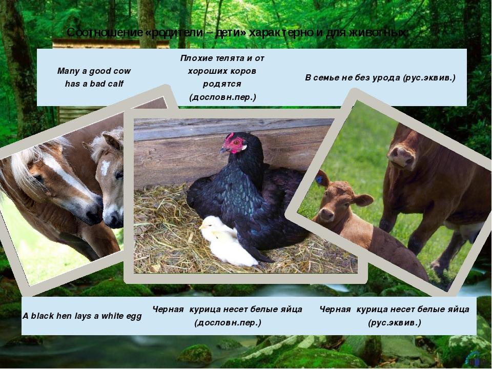 Соотношение «родители – дети» характерно и для животных: Many a good cow has...