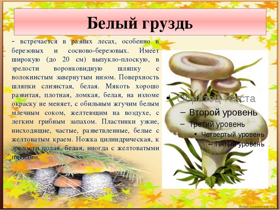 Белый груздь - встречается в разных лесах, особенно в березовых и сосново-бер...