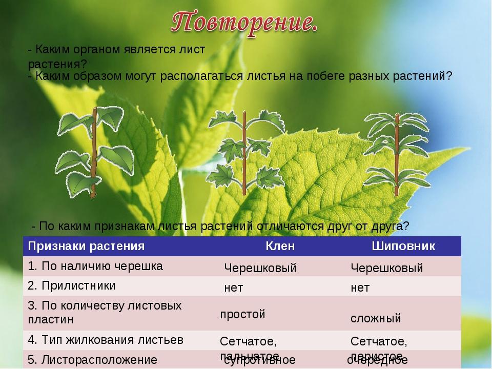 - Каким органом является лист растения? - Каким образом могут располагаться л...