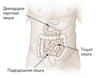 https://upload.wikimedia.org/wikipedia/commons/d/d5/Illu_small_intestine-Russian.JPG