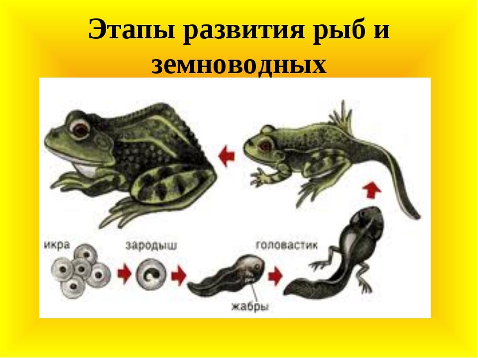 Этапы развития рыб и земноводных
