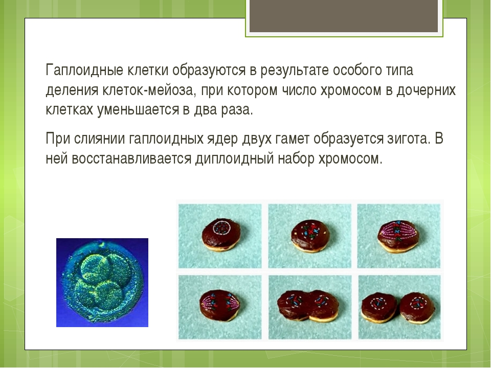 Гаплоидные клетки образуются в результате особого типа деления клеток-мейоза,...
