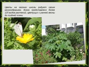 Цветы на газонах школы радуют своим многообразием. Всего представлено более 1