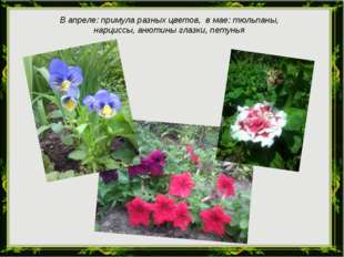 В апреле: примула разных цветов, в мае: тюльпаны, нарциссы, анютины глазки, п