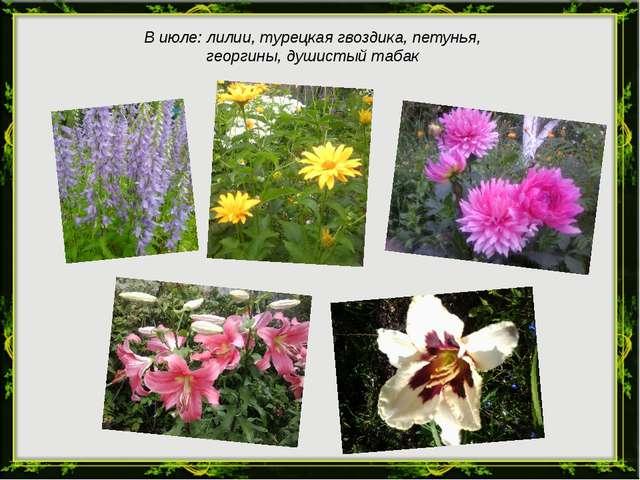 В июле: лилии, турецкая гвоздика, петунья, георгины, душистый табак