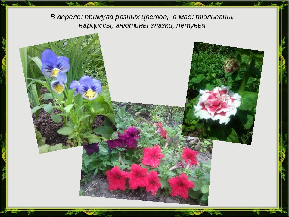 В апреле: примула разных цветов, в мае: тюльпаны, нарциссы, анютины глазки, п...