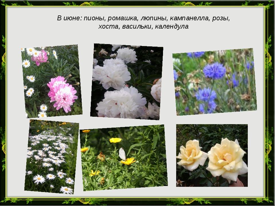 В июне: пионы, ромашка, люпины, кампанелла, розы, хоста, васильки, календула