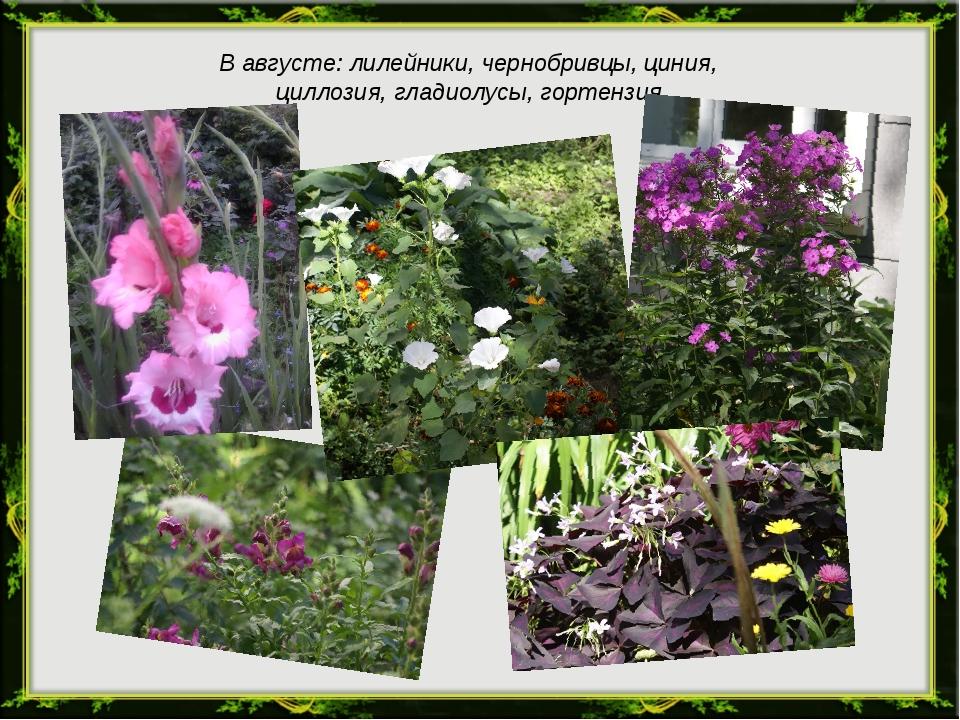 В августе: лилейники, чернобривцы, циния, циллозия, гладиолусы, гортензия