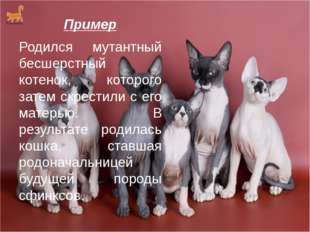 Пример Родился мутантный бесшерстный котенок, которого затем скрестили с его