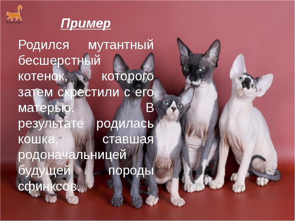 Пример Родился мутантный бесшерстный котенок, которого затем скрестили с его...