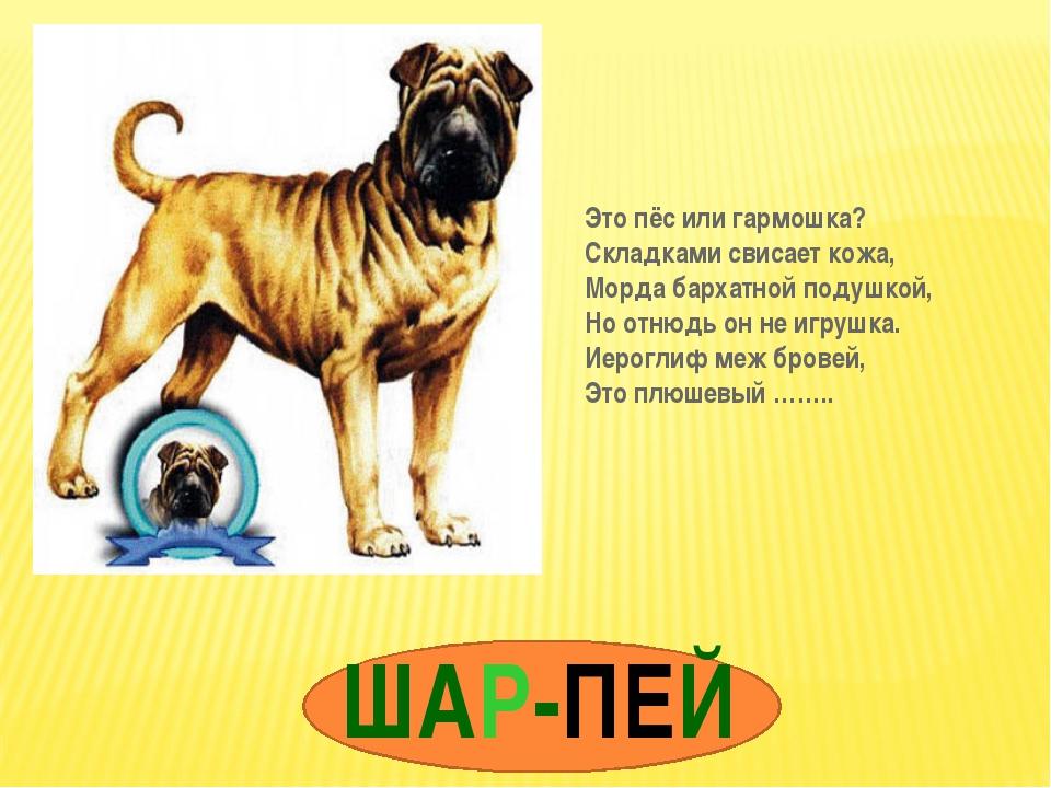 ШАР-ПЕЙ Это пёс или гармошка? Складками свисает кожа, Морда бархатной подушко...