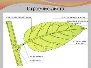Строение листа