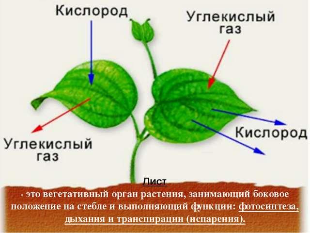 Лист - это вегетативный орган растения, занимающий боковое положение на стебл...