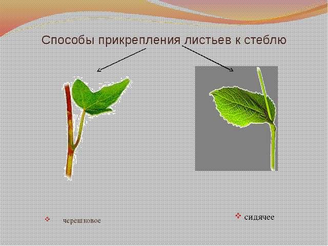 Способы прикрепления листьев к стеблю черешковое сидячее