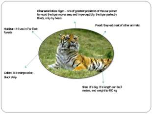 Characteristics: tiger – one of greatest predators of the our planet. In wood