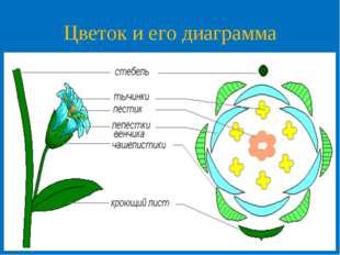 Цветок и его диаграмма