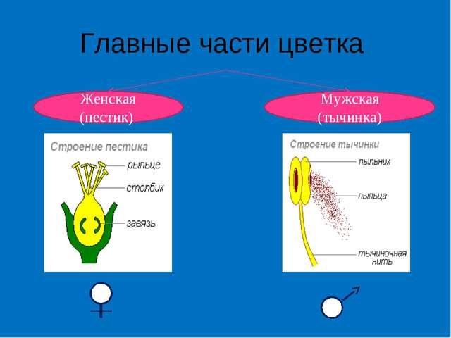Главные части цветка Женская (пестик) Мужская (тычинка)