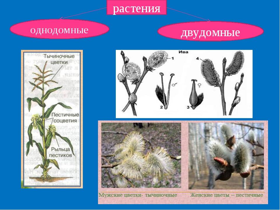 растения однодомные двудомные