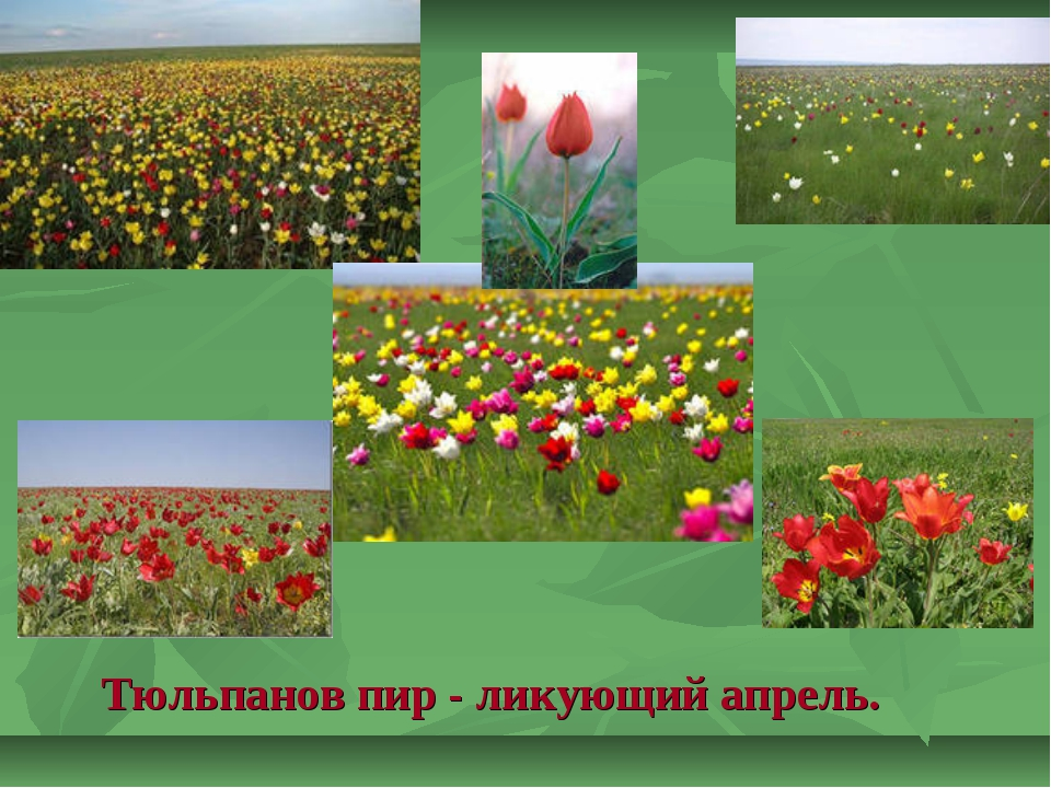 Тюльпанов пир - ликующий апрель.