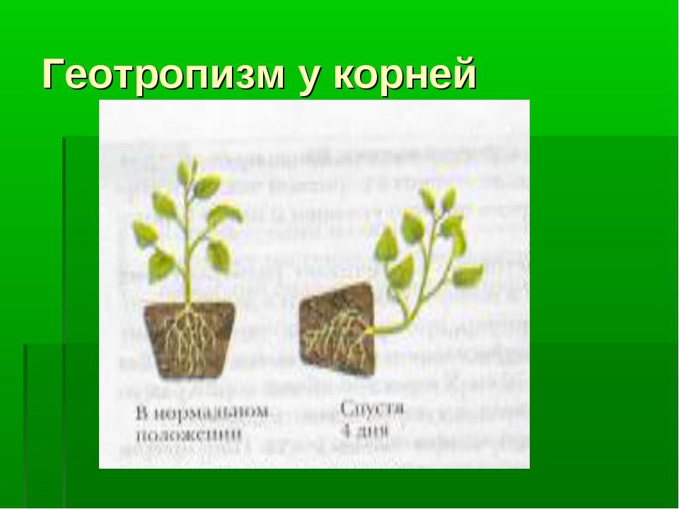Геотропизм у корней