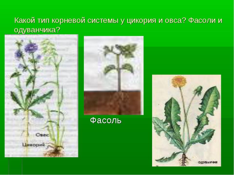 Какой тип корневой системы у цикория и овса? Фасоли и одуванчика? Фасоль